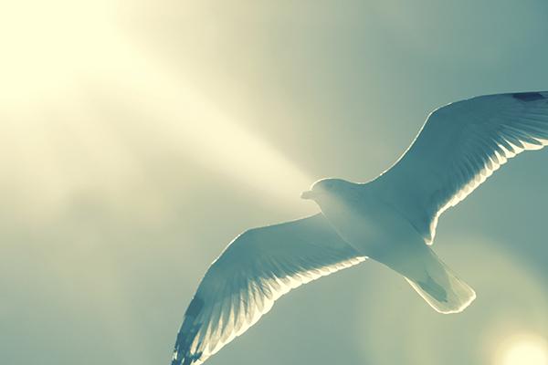 ascending-dove