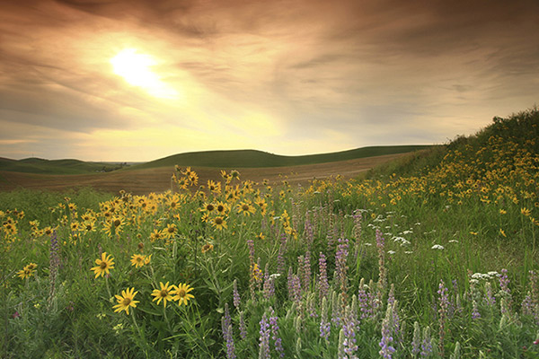 wildflower prairie