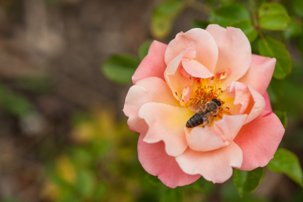 rose-with-bee